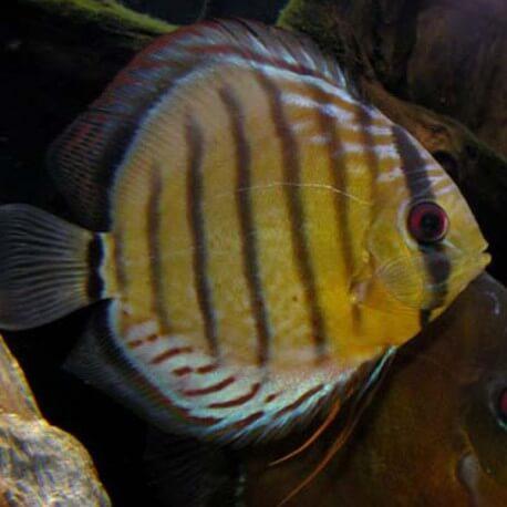 Discus Symphysodon aequifasciatus Rio Putumayo 12-15cm
