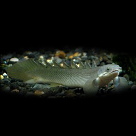 Polypterus senegalus 6 cm