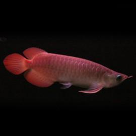 Scleropages formosus Banjar red 10-15cm avec permis CITES