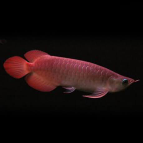 Scleropages formosus Banjar red 15-20cm avec permis CITES