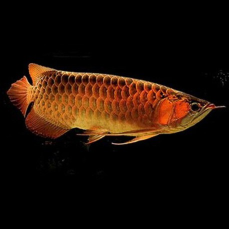 Scleropages formosus golden red 10-15cm avec permis CITES