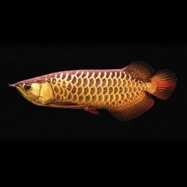 Scleropages formosus hight gold cross back 15-20cm avec permis CITES