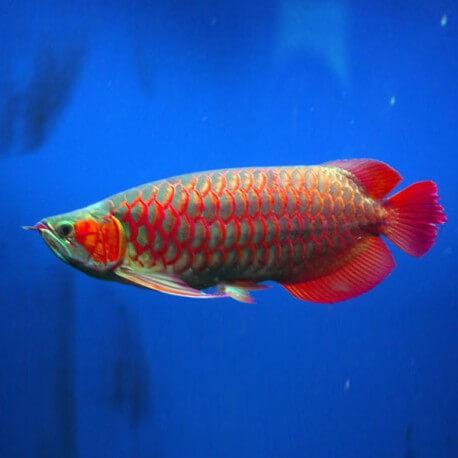 Scleropages formosus super mitra red 10-15cm avec permis CITES