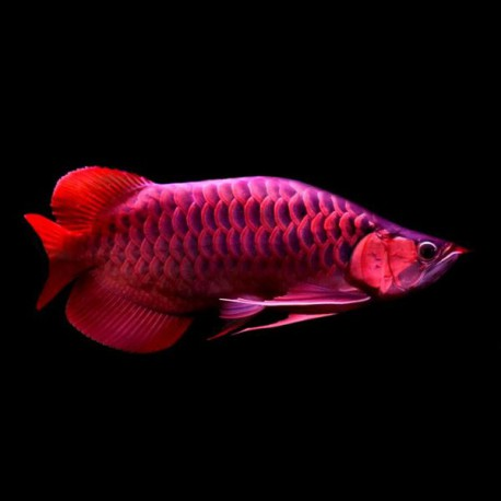 Scleropages formosus violet fusion super red 15-20 cm