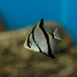 Monodactylus sebae 4 - 5 cm