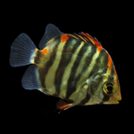 Scatophagus argus red 3 - 4 cm