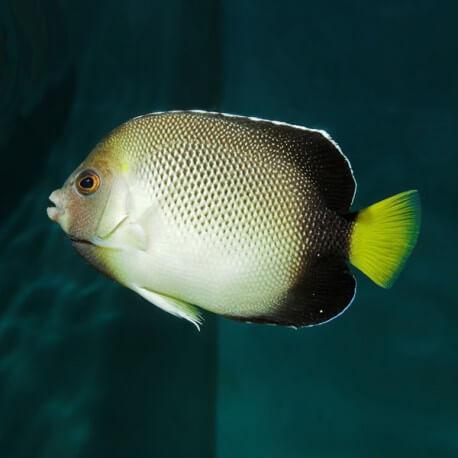 Apolemichthys xanthurus L