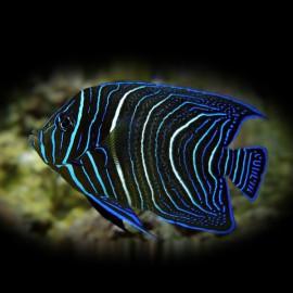 Pomacanthus sextriatus S