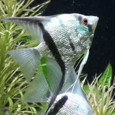 Pterophyllum scalare diamond 4 - 5 cm