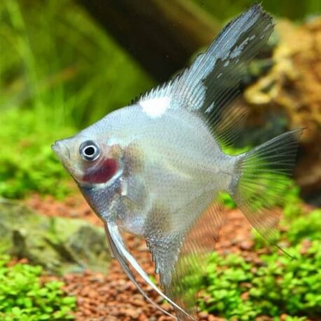 Pterophyllum scalaire ghost 5-6cm