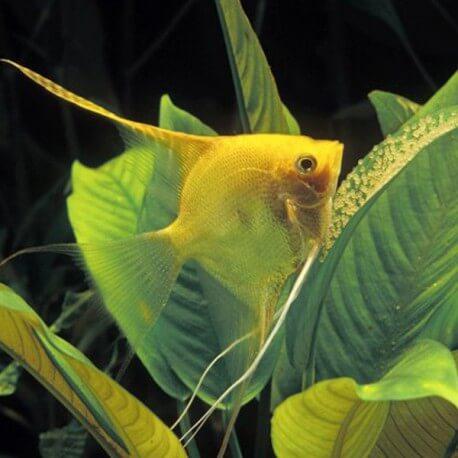 Pterophyllum scalare gold l.f. 5 - 5,5 cm