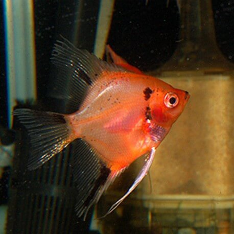 Pterophyllum scalaire red XL