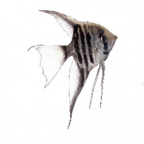 Pterophyllum scal. zebra long fin 1,5 - 2 cm