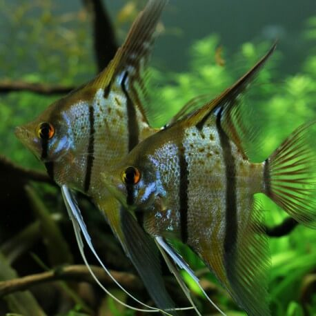Pterophyllum scalaire rio nanay L
