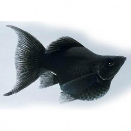 Poecilia latipina « Molly » ballon lyre black 2,5cm