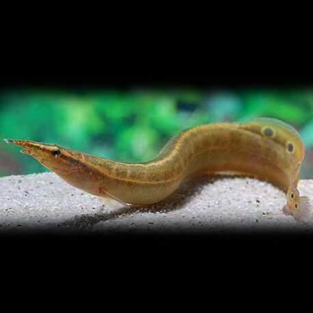 Macrognathus aculeatus 6 - 10 cm