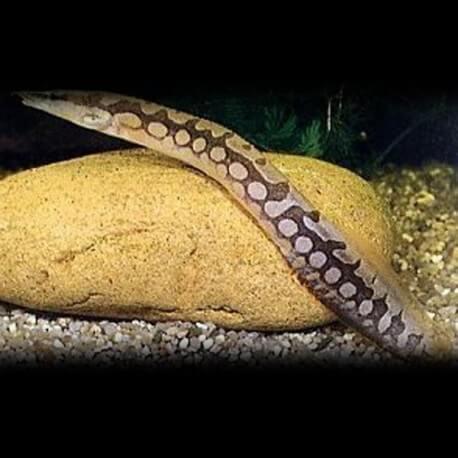 Mastacembelus argus +14cm