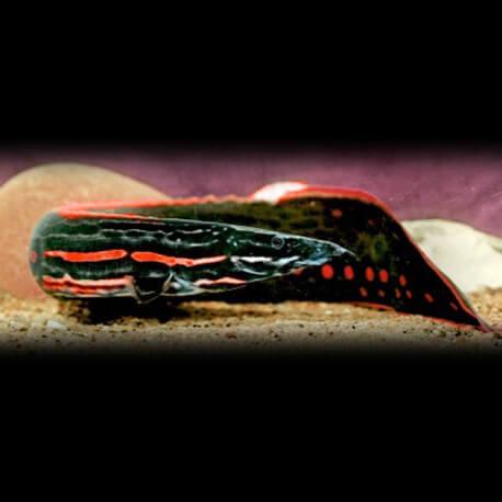 Mastacembelus erythrotaenia 20-22cm