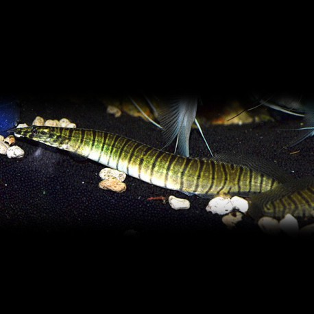 Mastacembelus zebrinus 6 - 8 cm