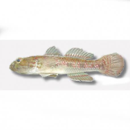 Gobius viridipunctatus 4-5cm