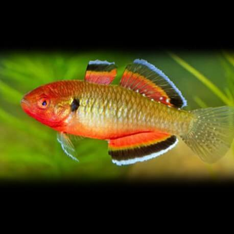 Hypseleotris Hypseleotris 3-4cm