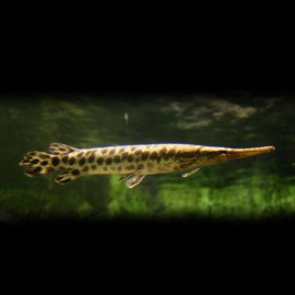 Lepisosteus oculatus 6 cm