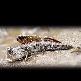 Periopthalmus papilio 4-6 cm