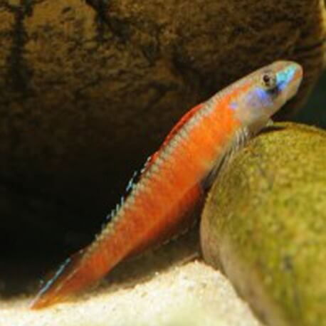 Stiphodon sp. undio orange 3-6cm