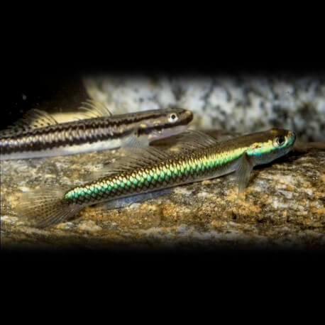 Stiphodon sp. undio sumatra 3-6cm