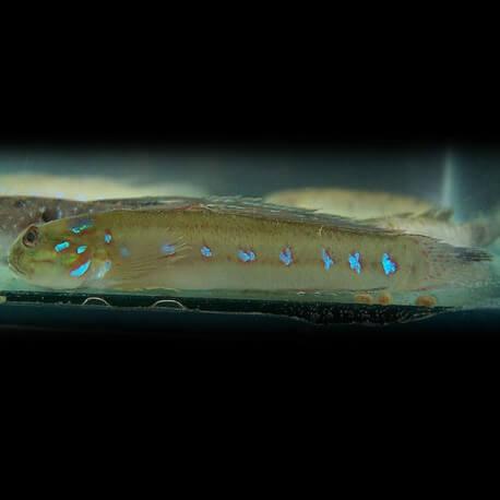 Amoya brevirostris 5-6cm
