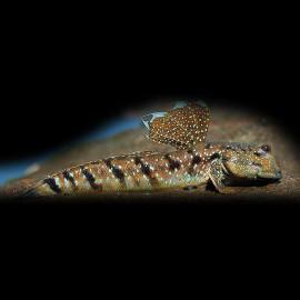 Boleophthalmus boddarti 8cm