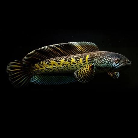 Channa aurantimaculata 12-15cm