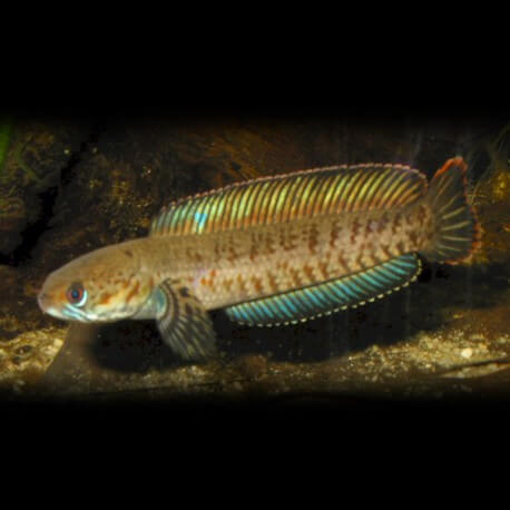 Channa gachua 8-10cm