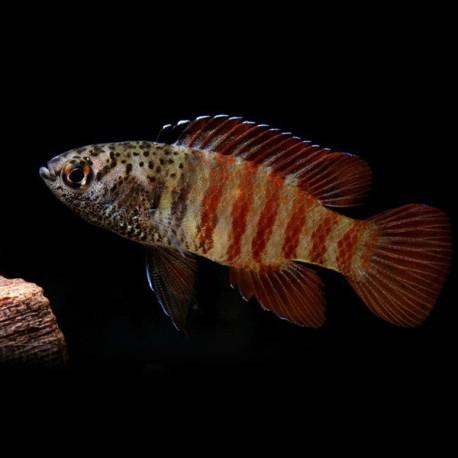 Dario sp. black tiger 2 cm