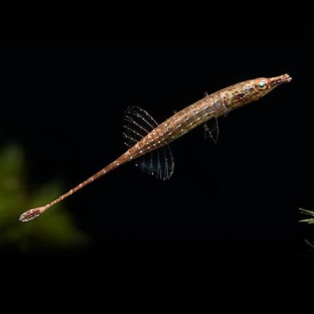 Indostomus paradoxus 2,5-3,5cm