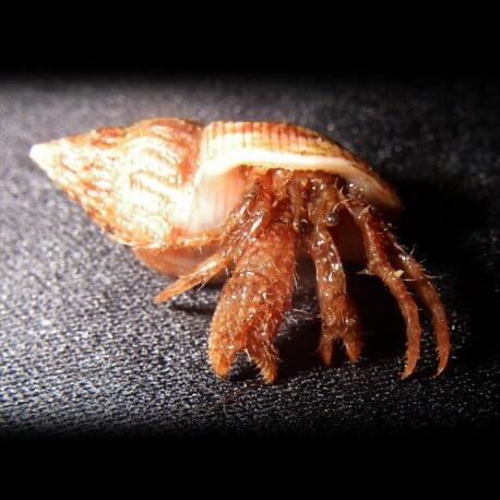 Panguridae sp. L