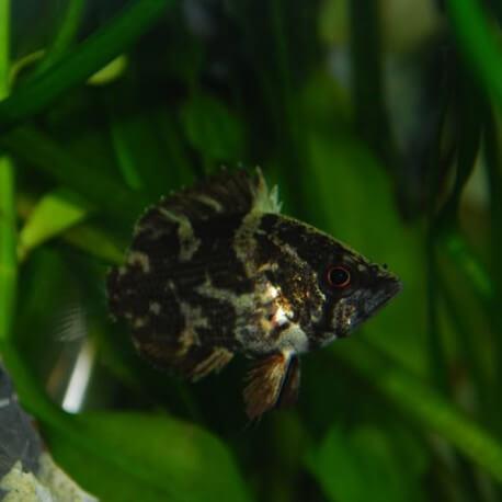 Myleus schomburgki 4,5 - 6 cm