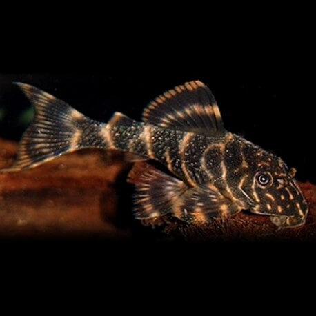 Panaque maccus 5-7cm