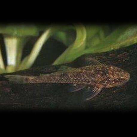 Parotocinclus sp. britzki 1-2cm