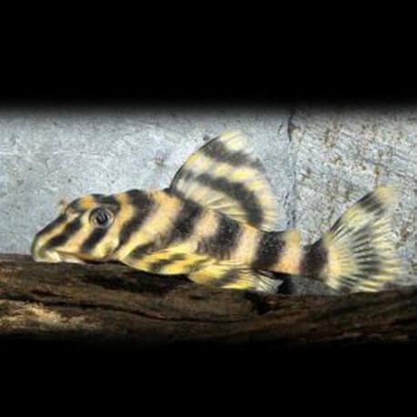 Peckoltia vittata 3,5-4cm
