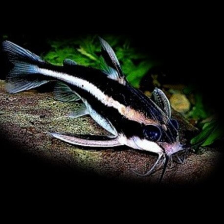 Platydoras costatus 2-2,5 cm