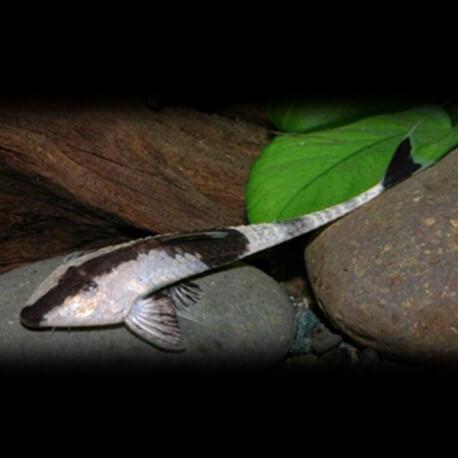 Pseudohemiodon apithanos M