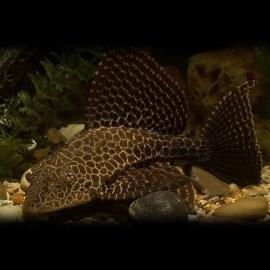 Pterygoplichthys gibbiceps 4 - 5 cm