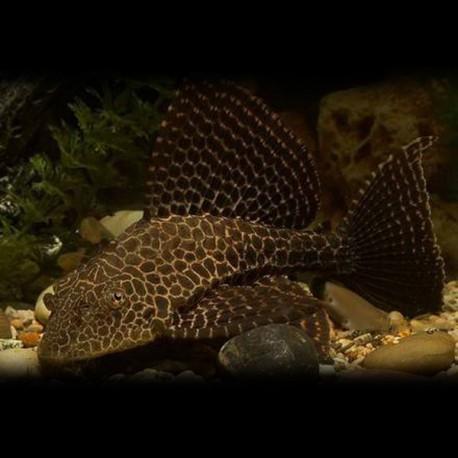 Pterygoplichthys gibbiceps 10 cm