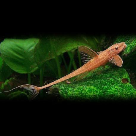 Rineloricaria lanceolata 6-7cm