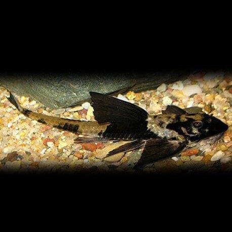 Rineloricaria similimis 6-7cm