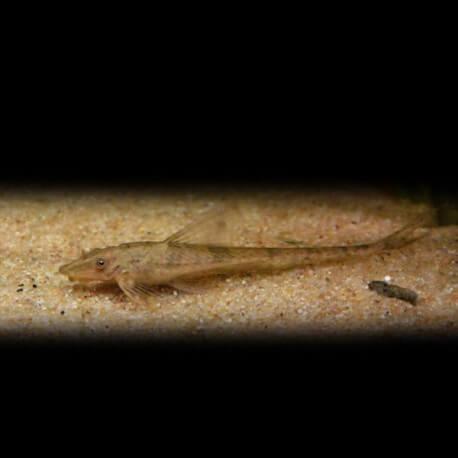 Sturisoma foerschi +9cm