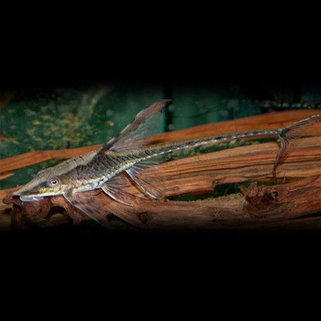 Sturisoma nigrirostrum +8cm