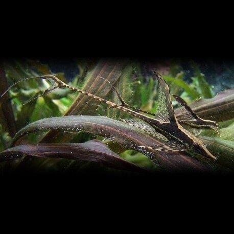Sturisoma panamense 7 - 8 cm