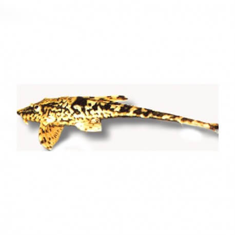 Sturisomaichtis leightoni 6-7cm
